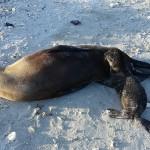 Seehunde auf Galapagos