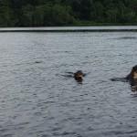 Flussotter